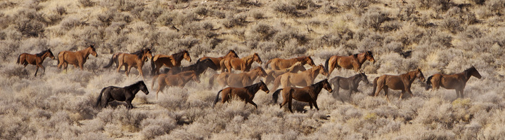 Wild Horses at Battle Mountain